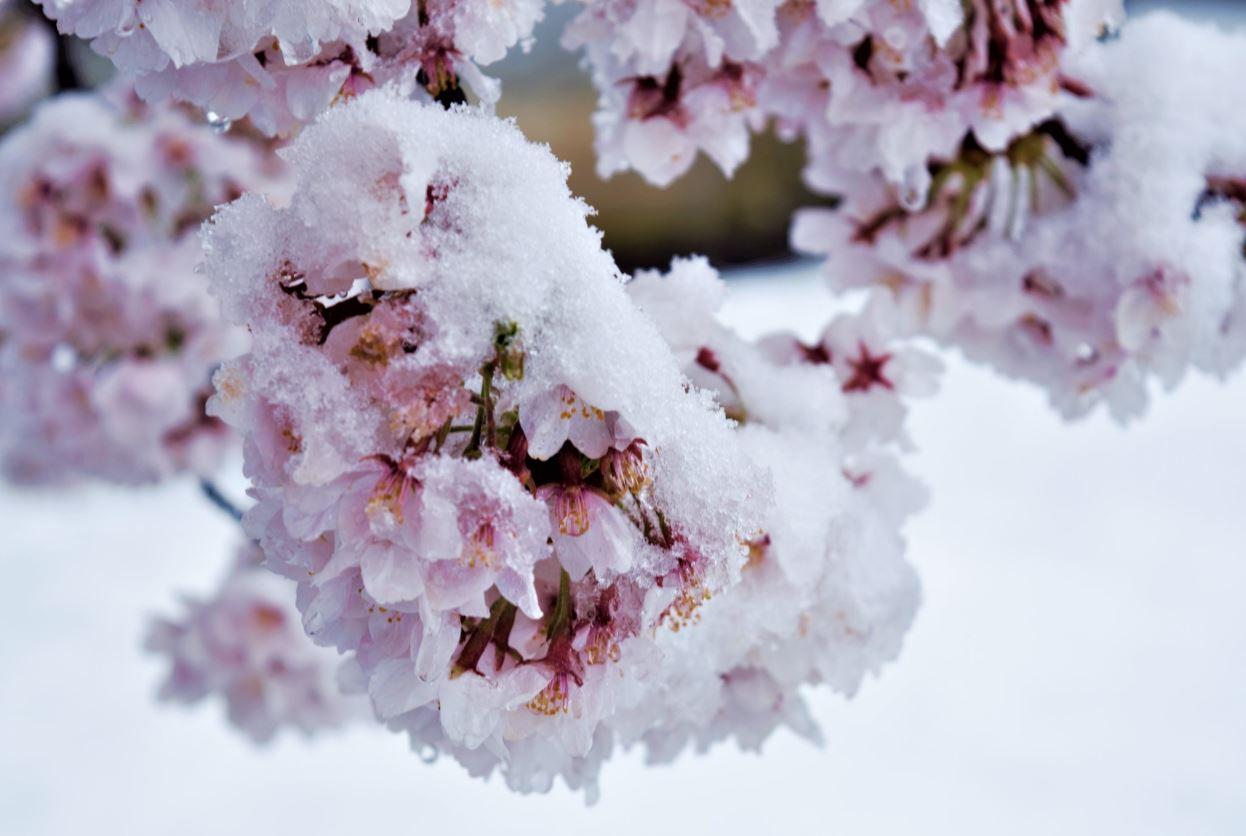 日本出現神級美景「櫻吹雪」重現動漫場景 網瘋搶拍「雪包櫻」:超罕見!