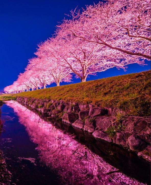 日攝影師捕捉到櫻花季神級「粉藍傳說」 網讚爆:少女的初戀感滿載❤
