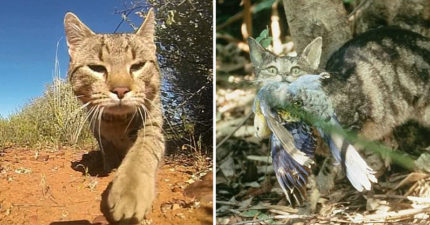 澳洲野貓無天敵爆量「嚴重危害生態」 緊急實行「無貓計畫」1年消滅200萬隻!
