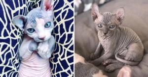 25隻讓你超想亂摸一通的「皺皺無毛貓」 尾巴部分最能證明「無毛的還是最誘人」!