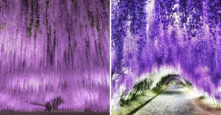 日本美景「紫藤仙境」曝光 完美複製「《阿凡達》聖地」網大讚:看完真的會感動!