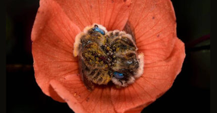 攝影師意外發現「在花朵裡睡覺」新奇蜜蜂品種!近看「沾滿花粉」用小手擁抱太可愛❤