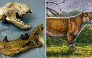 研究團隊挖出「1500公斤的史前巨虎」 網嚇傻:牠可以把大象當零食...