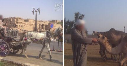 遊客玩埃及「爽騎駱駝」用馬載行李 動保人士公布「瘦到只剩皮」真相:沒力氣照鞭!