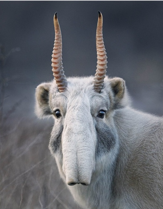 攝影師拍下14種即將「完全消失」的極稀有動物 「像豬一樣的羚羊」再也看不到!