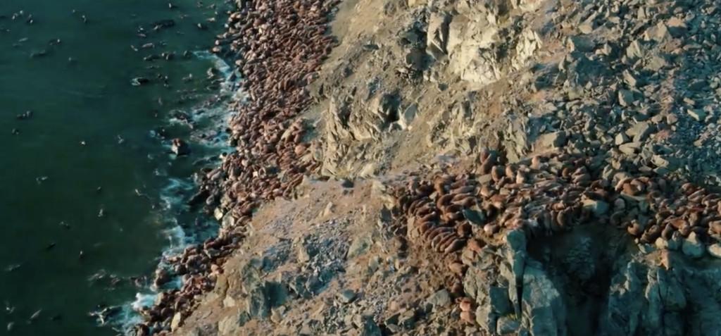 海象為找食物「爬上懸崖」排隊跳下去 工作人員痛到「沒辦法再拍」網爆淚:人類造成的悲劇!