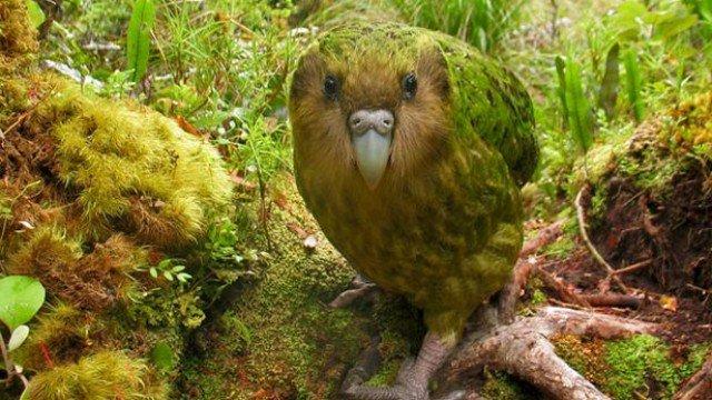 呆萌鸚鵡靠硬上「人類的頭」成功免於絕種