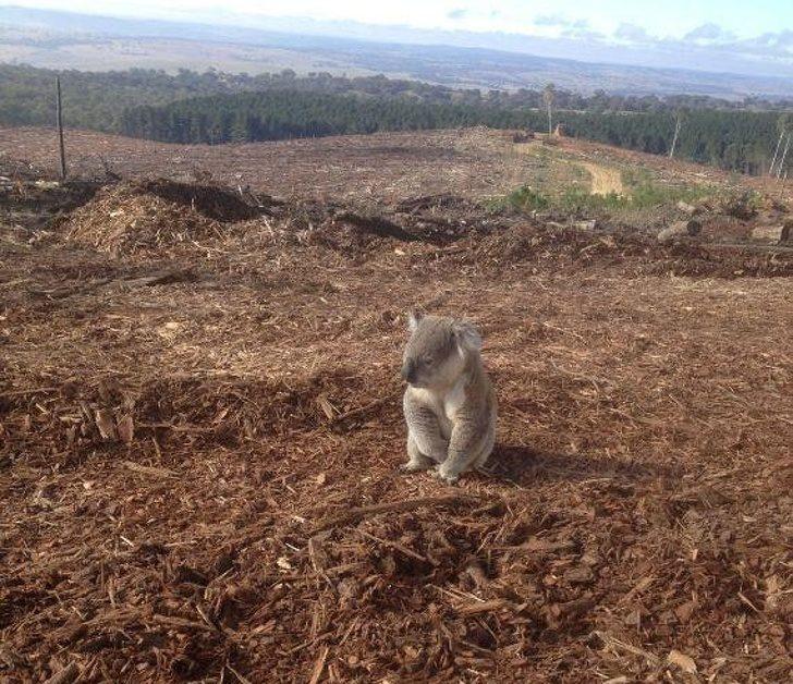 22張「人類再不行動地球就毀了」的超震撼照片 無尾熊發現家園消失「呆坐1小時」太催淚