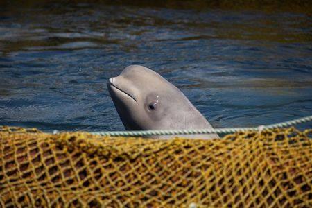 俄羅斯出現「百隻鯨魚監獄」準備銷海洋公園 普丁「砸1.4億放生」暴怒:中國也有關?