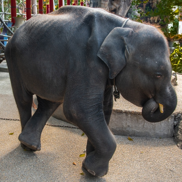 每天「被修理」才學會跳舞給人類看 「泰國版小飛象」悲慘遭遇引眾怒:拒看動物表演!