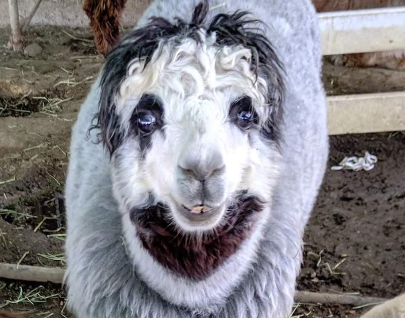 網友在牧場發現綿羊有「一張鬼臉」 超衝擊畫面害他「嚇到心臟快停」:恐怖的不是臉!
