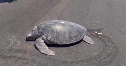 超稀有海龜堅持「在飛機跑道下蛋」 工作人員嘆「牠們每年都回來」網心碎:都是人類害的!