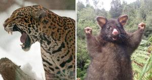 動物「想要嚇人卻變賣萌」的可愛照被3萬人讚爆 水蚤「顯微鏡下裝兇」讓網笑瘋!