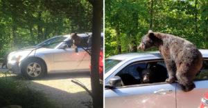 他去野外度假忘了關車門...轉身秒被「調皮棕熊家族」霸佔 熊駕駛真的超萌!