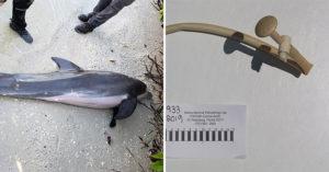 海灘出現「異常斷氣海豚」...牠肚裡卻出現「整組蓮蓬頭」 居民心碎:這個月第2隻