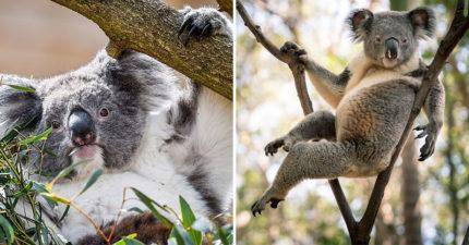 澳動保團體無奈宣布「無尾熊」只剩8萬隻 國寶「功能性滅絕」將走入歷史...