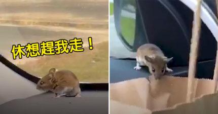 影/膽小男在車上「看到老鼠」嚇壞 用3種方法都趕不走…最後靠「薯條」成功逃生!