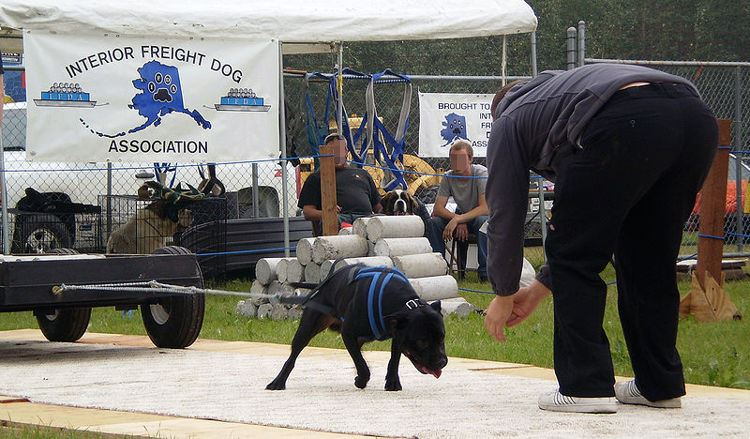 國外瘋傳「狗狗拉重物」比賽 68公斤雪橇犬「硬拉2449公斤」網怒轟:人類很惡劣!