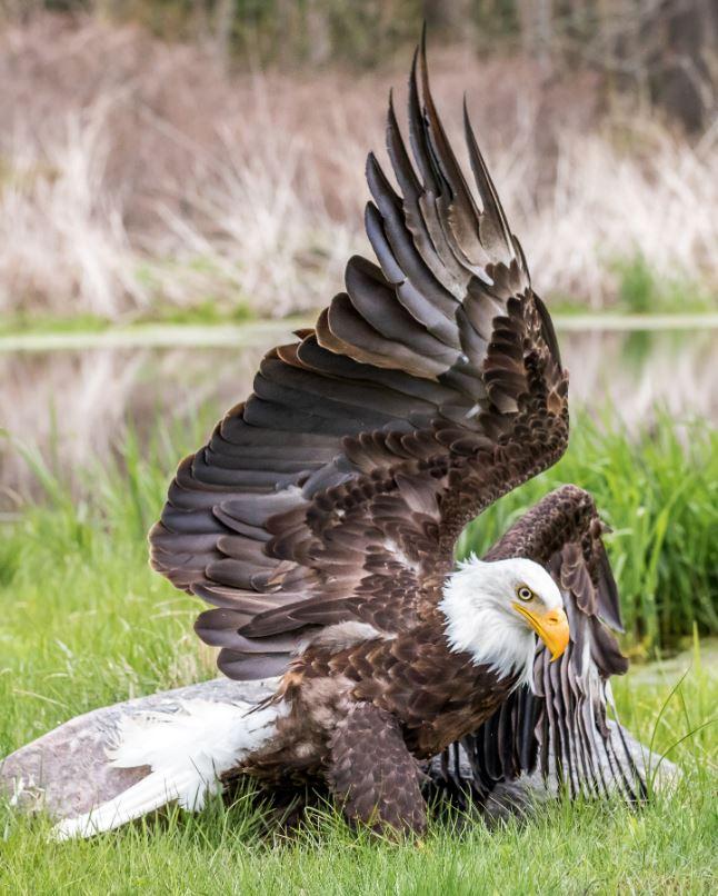 最完美照片!他捕捉「白頭鷹變成拱橋」0.01秒巧合畫面 攝影師感嘆:相當有意義