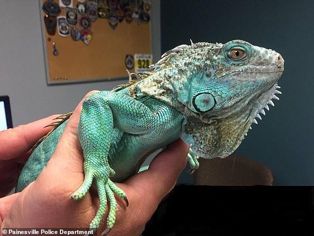 阿伯吃飯不爽怒砸「無辜綠鬣蜥」當武器 害寵物斷腿民眾傻眼:以為自己是小智?