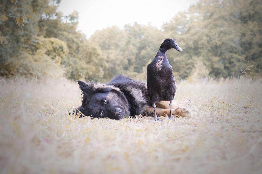 呆萌犬交到「好朋友」小黑鴨 每天「結伴散步」超甜蜜…網被閃瞎:狗還比我幸福❤