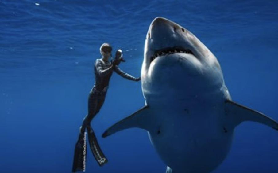 海中霸主也有怕的時候?研究發現大白鯊遇上「天敵」立馬嚇跑:直接被當成零食了