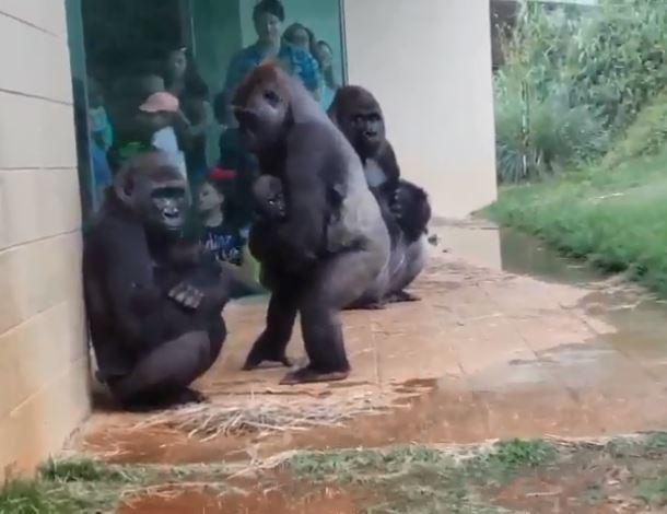 影/ 大猩猩遇大雨「真實反應」集體孬躲 怕淋雨「狂探頭觀察」跟人類超像!