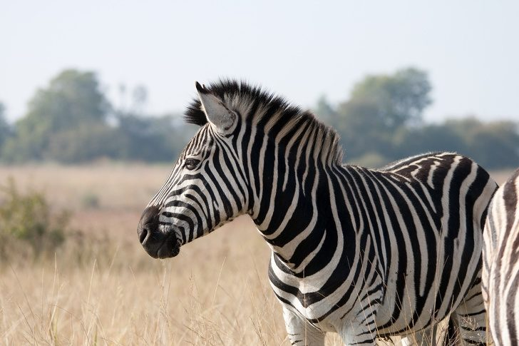 10個「從小就困擾著你的疑惑」最終解答 斑馬是黑的還是白的?