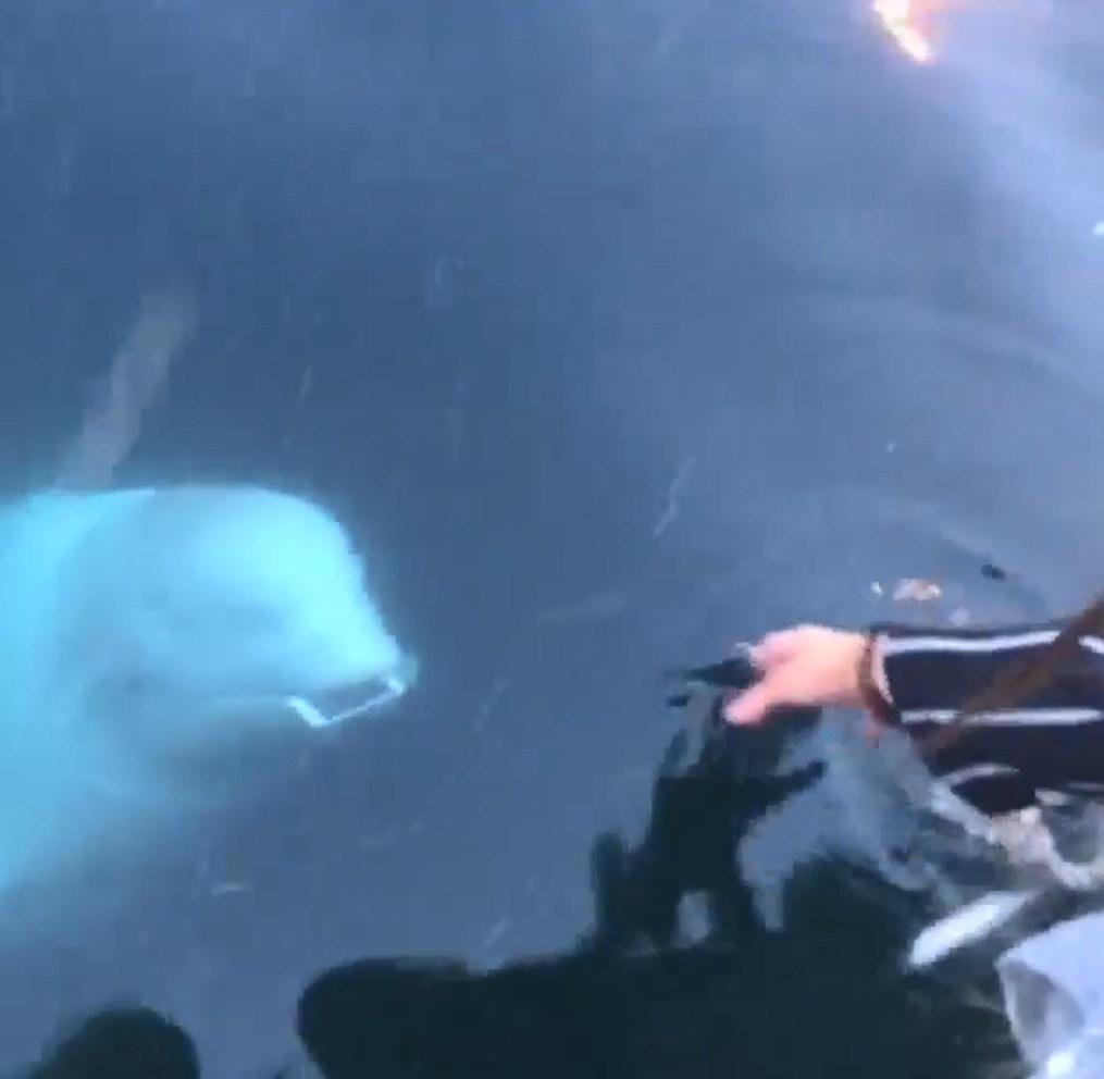 影/手機掉海裡驚見「聰明小白鯨」從海底游上岸 神奇「親自叼還」還附贈超萌笑容!