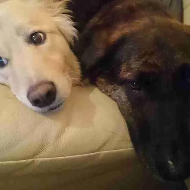 狗狗無法接受「10年麻吉離開」天天哭 主人送「特製抱枕」解憂...牠的反應卻超鼻酸!
