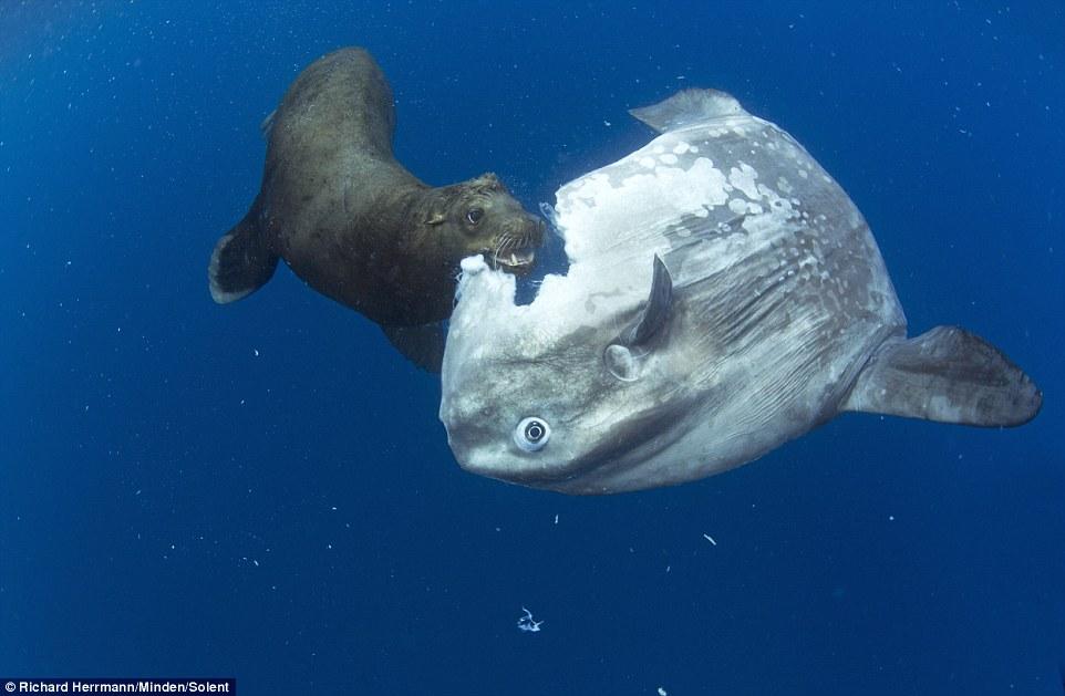 攝影師拍到「曼波魚被咬一口」的獵奇照片 牠乖乖「留在原地」網震驚:竟然沒感覺!