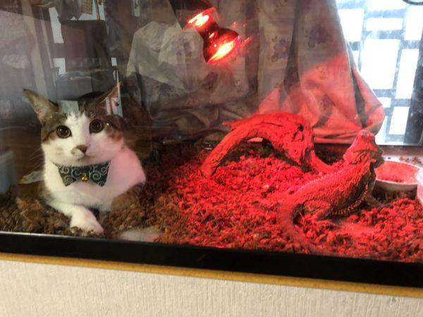主子不見了!他一抬頭驚見「爬蟲類貓咪」盯著自己 室友「超慘下場」網笑:太壞了~