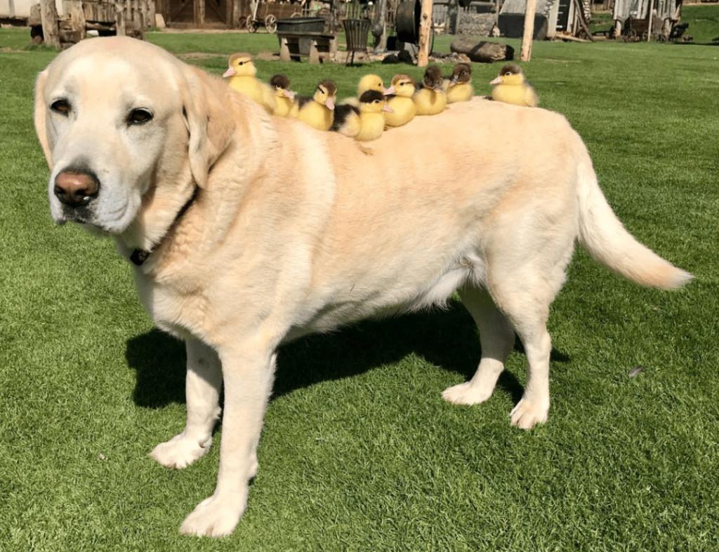 11歲拉布拉多領養「6隻孤兒小鴨」 超有父愛變「專屬公車」網秒融化:最暖狗爸!