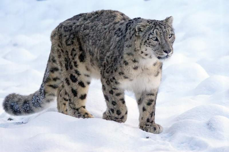 攝影師意外拍下雪豹「化身巨型肥貓」瞬間 超反差「憨呆大字跳」萌度破表!