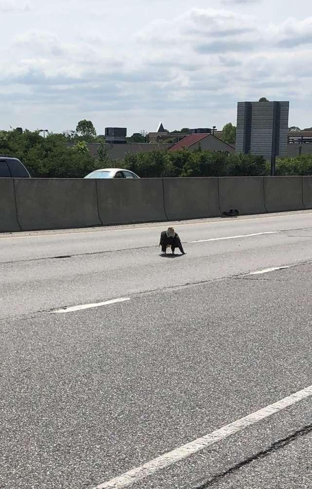 白頭鷹「飛不起來」受困高速公路 路人暖心解救都無效…最後他靠「8年襯衫」秒變救命恩人!