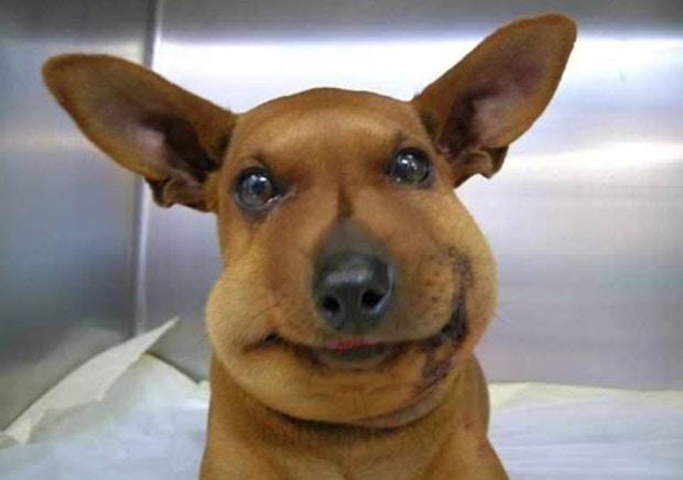 小黃狗打針過敏「變大包子」主人笑到哭 網友:我家的吃蜜蜂更慘