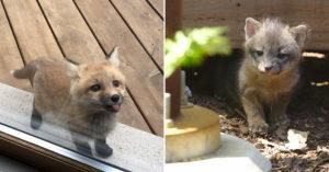 小狐狸突然「狂舔玻璃門」打招呼 隔天竟「帶著小跟班來」超萌展開網喊:快錄影!