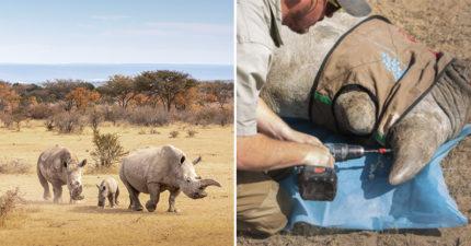 南非救援隊實行「對犀牛角下毒」政策 揭開背後「心疼原因」被網讚爆:請幫牠們!