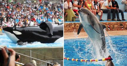 加拿大立新法「禁止飼養鯨豚」終於通過 再逼海豚「跳圈圈」直接罰600萬!