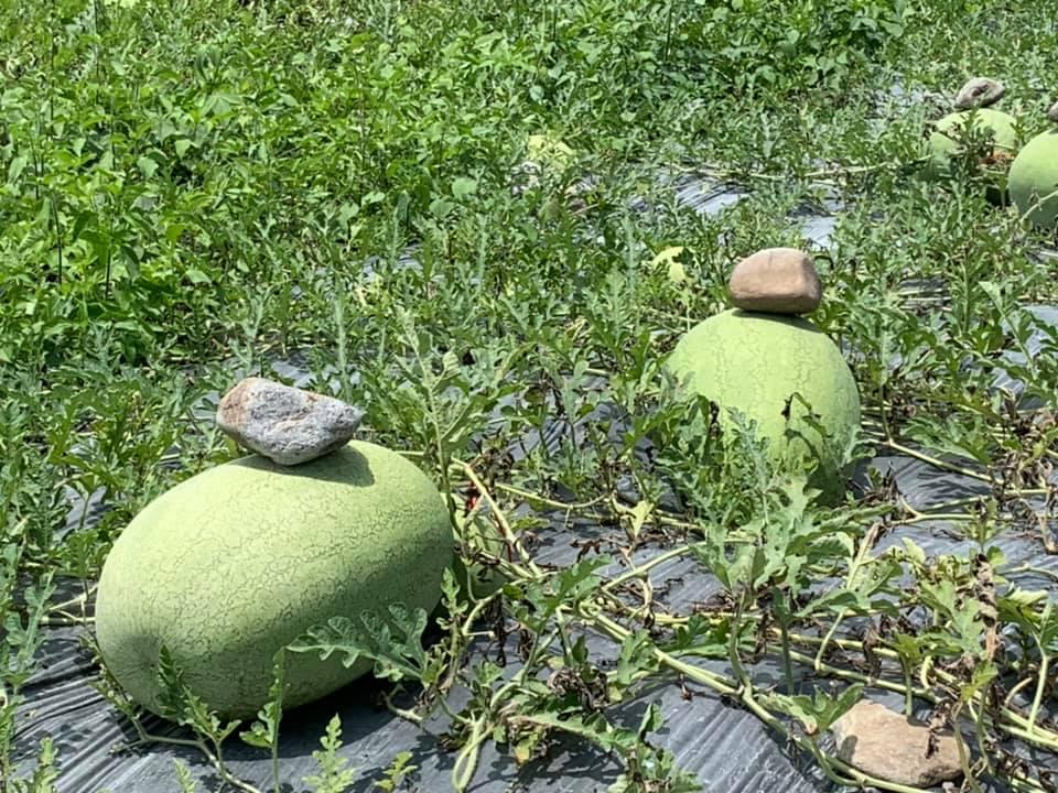 他問「為什麼西瓜上要壓石頭」?果農伯揭「超神秘原因」網驚呆:難怪賣相差那麽多!