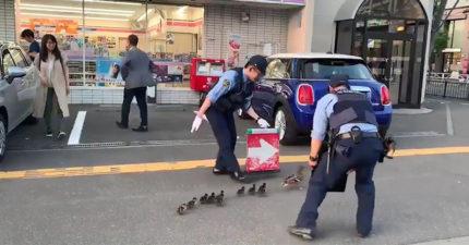 影/日本警察幫「鴨母子帶路」超暖舉動被讚爆 網友卻大歪樓:一路導進薑母鴨XD