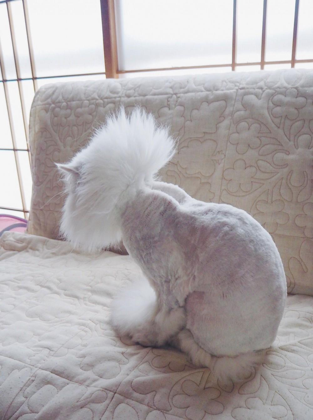 貓奴分享「喵皇被剃毛」的無奈照 網看「光禿禿背影」超母湯:太色了!