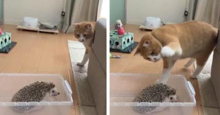 影/好奇貓咪「用手拍刺蝟」下場超慘...影片被狂播300萬次!網竊笑:預想中的反應