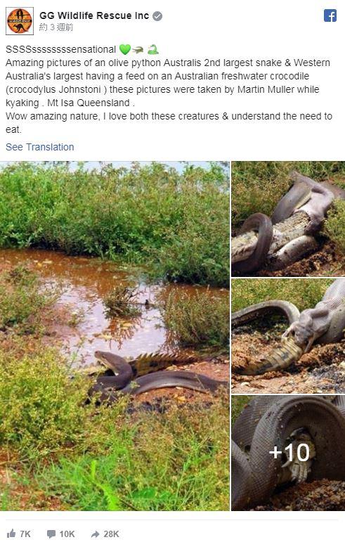 巨大蟒蛇竟把「整隻鱷魚」吞下肚 電影畫面「真實上演」網嚇瘋:像噩夢!