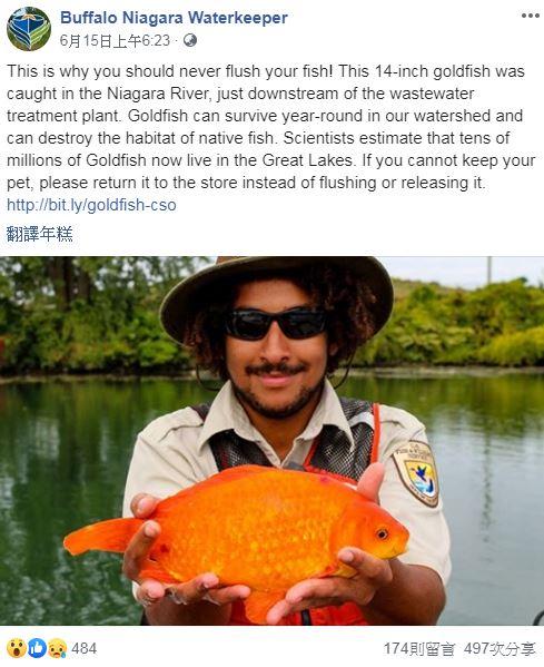 棄養金魚「被沖下馬桶」變巨大怪物!專家警告:整個生態系統遭殃了
