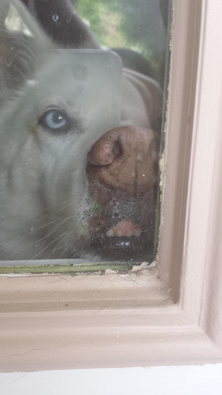 25張「動物黏在玻璃上」的爆笑崩壞照 水獺「舔到入迷」的眼神超母湯!
