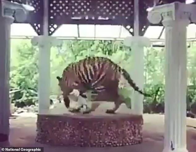老虎被綁台上「無限繞圈22小時」影片曝光 「原因太自私」10萬人氣炸連署讓牠回家!