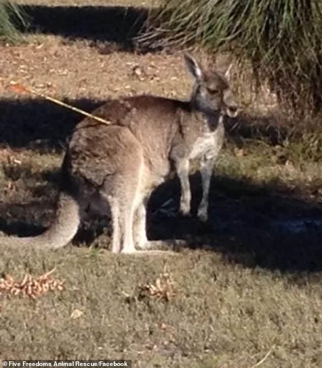 澳洲發生3隻袋鼠「身上帶著弓箭」的詭異悲劇 警察調查完驚覺「全變練習靶」震怒!