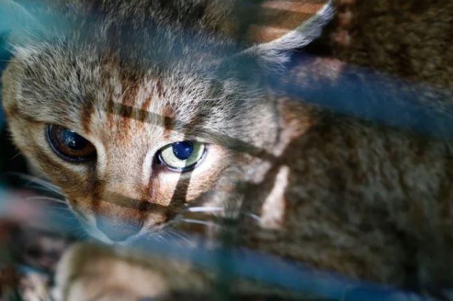 科學家發現「全新貓品種」!牠「睜開眼睛」那刻讓貓奴暴動 專家:驚人的發現