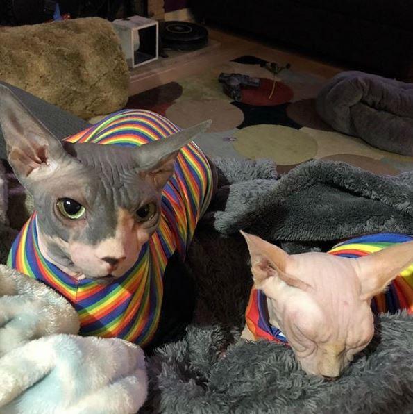 奴才幫貓皇打造「可變身8+9」的刺青袖套 無毛貓穿上「秒煞氣」最好別惹!